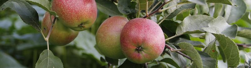Apples, Peaches, Plums, Pears, Figs, Nectarines grow well in Northeast AR & Southeast MO