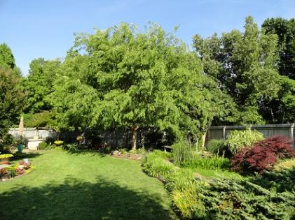 Elm - Great Shade Tree