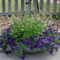 This Crescent container is filled with blue Wave Petunias and l	Talinum Limon.  These potted flowers love full sun and are constant bloomers.