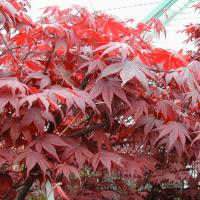 Red leaf Japanese Maples give the landscaping the vibrancy it often needs.