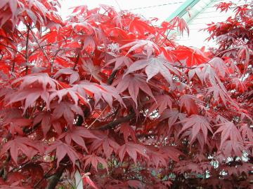 Red Leaves Of A Japanese Maple
