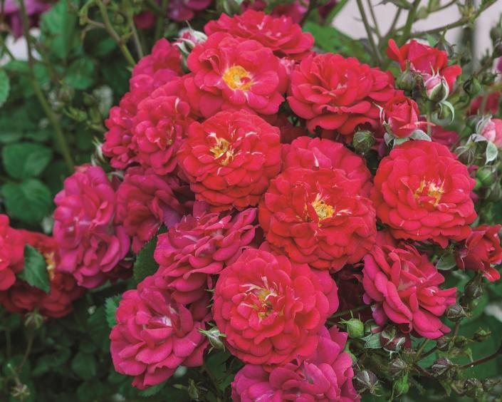"This red shrub rose with its pompom-like flower Is great for small space that need a showy focal plant. Although the plant is compact in nature, the big clusters of lowers are very attractive. Whether planted in the ground or in a decorative pot this rose performs well in most climates. *Color - Medium Red *Height - Medium to Low *Habit - Mounding *Petal Count - Over 45 *Petal Size 1 1/2"" in diameter *Fragrance - Slightly tea to fruity  *Foliage - Glossy Dark Green   **Photo provided by Weeks Roses"