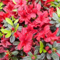 This beautiful flowering shrub is an Azalea. Azaleas fall under the genus Rhododendron.