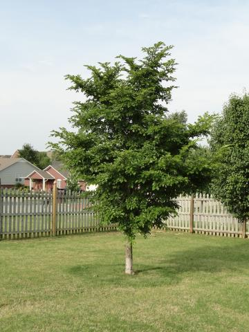 Lawn With Elm Tree