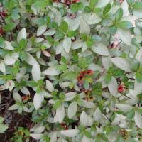 This azalea's leaves have turned white with a lacy pattern as the result of an attack by lacy bug.