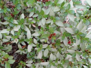 Problems with your Rhododendrons? |Azalea Diseases