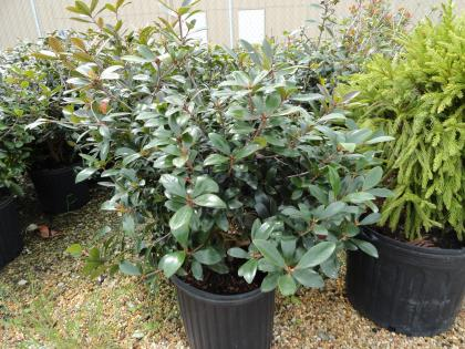 Grey-green shrub.
