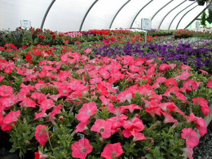 These pink wave petunias and other annual flowers will add constant color to your landscape through the spring and summer months.