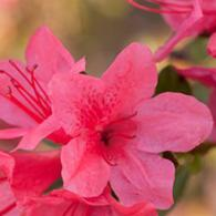 Encore Azalea Autumn Cheer