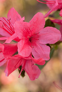 "[Image: This dainty Autumn Cheer Encore Azalea is prefect for petite gardens where space is an issue. The single 1.25"" blooms may be small, but they pack a big punch on the 3' height with a 3.5"" spread shrub. Whether you plant this pink azalea in mass or as a single plant, it is a must have for any garden. Hardy in zones 6a, 6b, 7, 8, 9, they are a proved performer in Northeast Ar and Southeast MO. Azalea x 'Conlef' is patented - PP#10579. This photo was provided by www.encoreazalea.com. Status: available at Adams Nursery & Landscaping in Paragould AR.]"