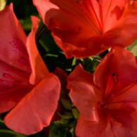 Encore Azalea Autumn Sunset