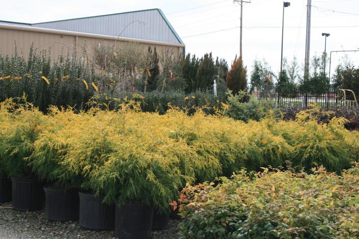 Image Photo Of Shrubs At Adams Nursery That Will Add A Touch Yellow