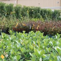 Photo of several different kinds of shrubs that can be used for landscaping in Paragould and Northeast Arkansas as well as the  Bootheel of Missouri.