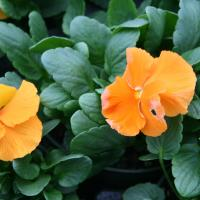 Pansy-Matrix Spring Orange