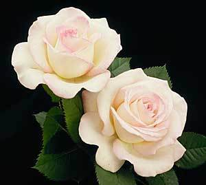 Moonstone white rose white roses image this white hybrid tea rose is finely tinged with pink edges the mightylinksfo