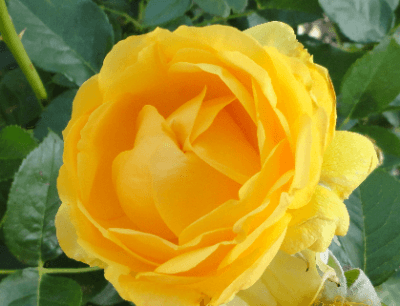 Beautiful yellow rose - hybrid tea.