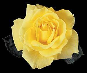 yellow rose bush varieties Orange and Yellow RosesYellow Rose Bushes Types
